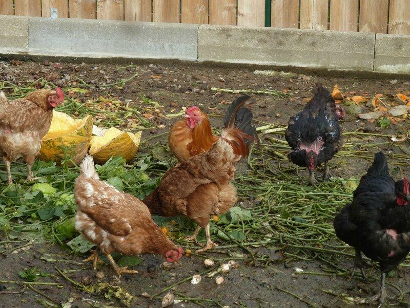 13-poules (19)