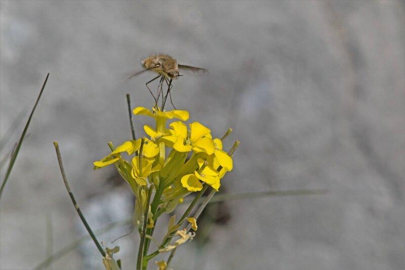 Haut Aragon juin 2017 J2 Castillo 42 insecte bombyle fleur