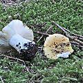 Russula ocroleuca (3)
