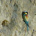 guepier nid