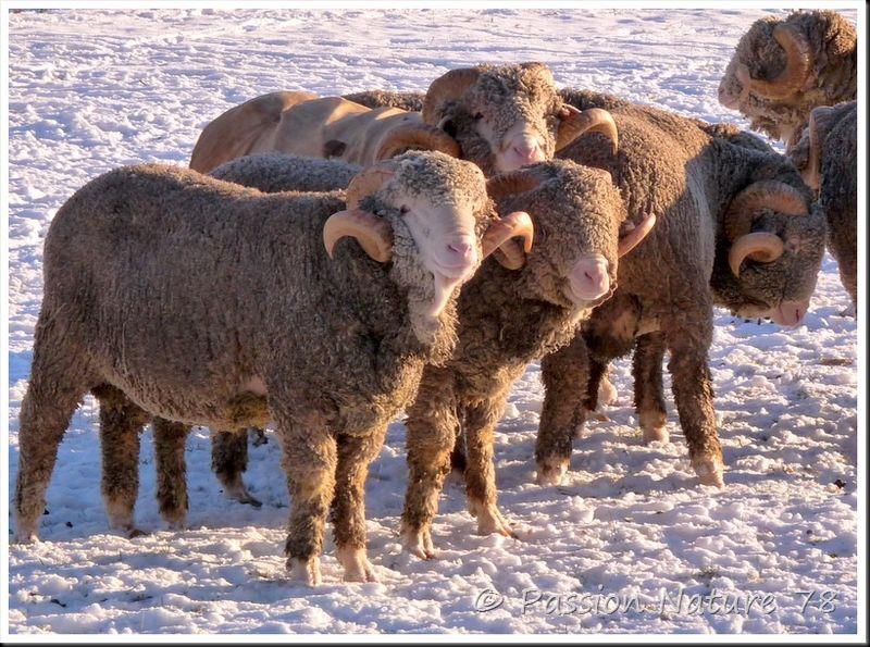 Moutons de Méinos (23)