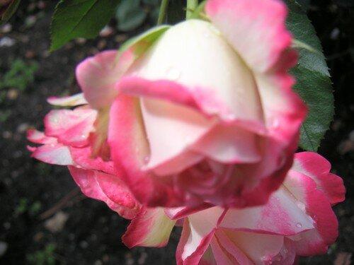 rose047