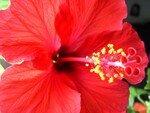 hibiscus_blog_004