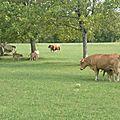 Les vaches et leurs veaux