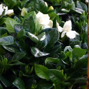 Gardenia-2