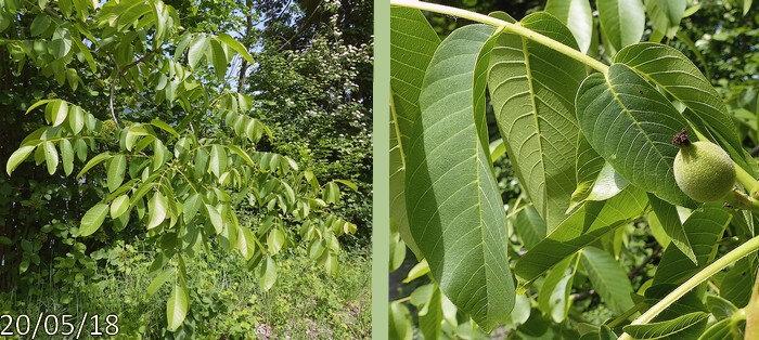 feuilles caduques alternes pétiolées imparipennées 5-9 folioles ovales-aiguës entières glabres