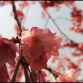 359_Sakura