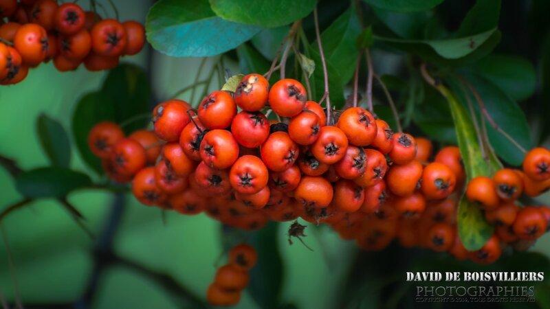 Airelle rouge (Vaccinium vitis-idaea subsp. vitis-idaea)
