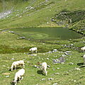 Lac d'Ansabère et vaches (64)