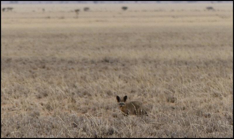 P1190897octocyon petit renard oreilles chauve souris