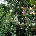 Des rosiers lianes montent jusqu'en haut des arbres voisins