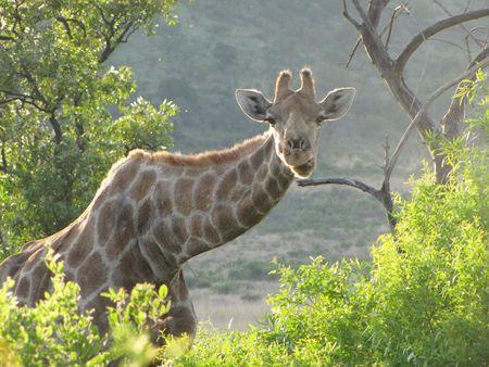 girafe_1