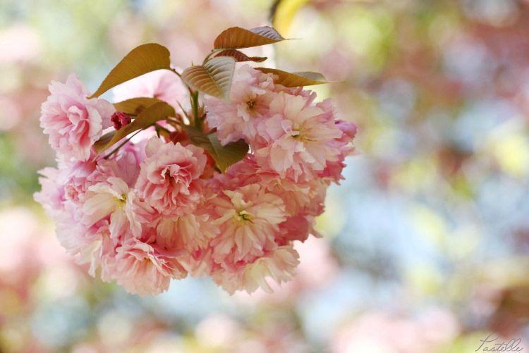 Cerisier_13 24 04_1770