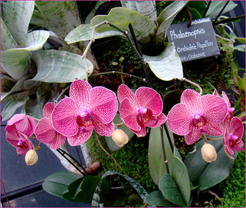 orchibouton