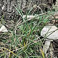 Macrolepiota excoriata (1)