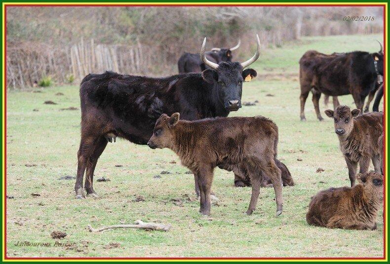 Vache N°845-border