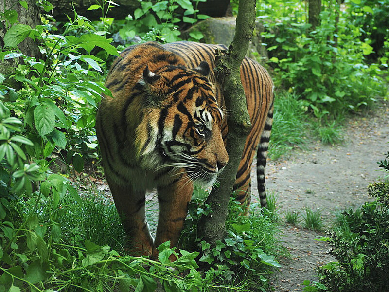 zoo-beauval-animaux-tigres-2