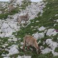 2009 06 29 Des bouquetins sur le sommet du Grand Veymont dans le vercors (4)