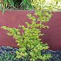 Acer palmatum Orange Dream (Printemps)