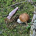 Boletus edulis (1)