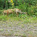 Parc de La Mauricie - un loup affamé.