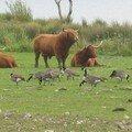 vache écossaise (2)