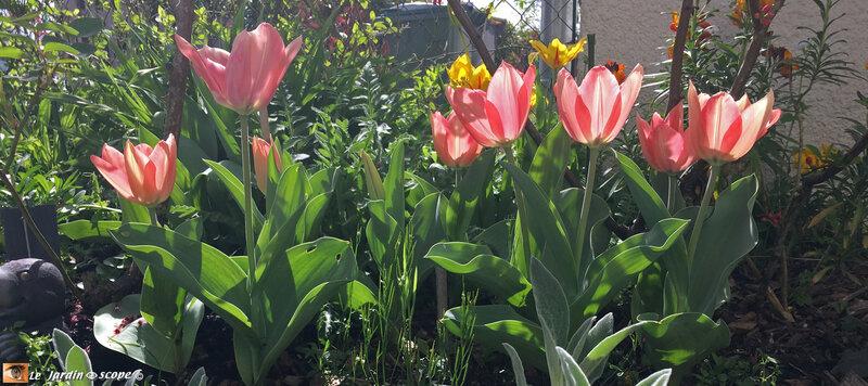 Tulipes Triomphes Gabriella