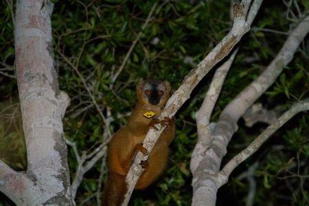Kirindy-lémurien-nocturne