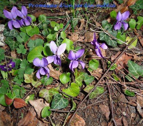 7 violette