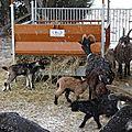 chèvres et chevreaux sous les flocons