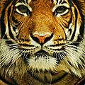 tigrehf9V1sug8yto1_500