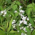 Deutzia gracilis-