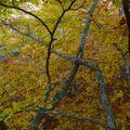 2009 10 31 Depuis le haut d'un Fayard (hêtre), vu sur le branchage et les feuilles d'automnes (7)