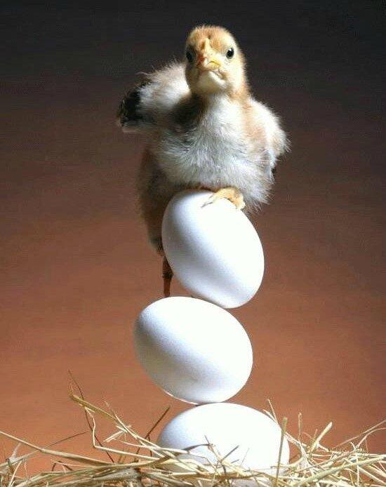 poussin équilibriste