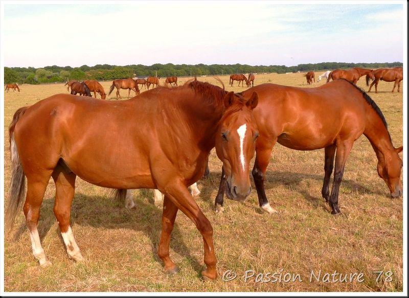 Les chevaux en pension (24)