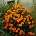 2008 09 26 Un gors plant d'oeillet d'Inde sous serre