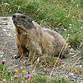 P1060809 Une marmotte, et ce n'est pas fini
