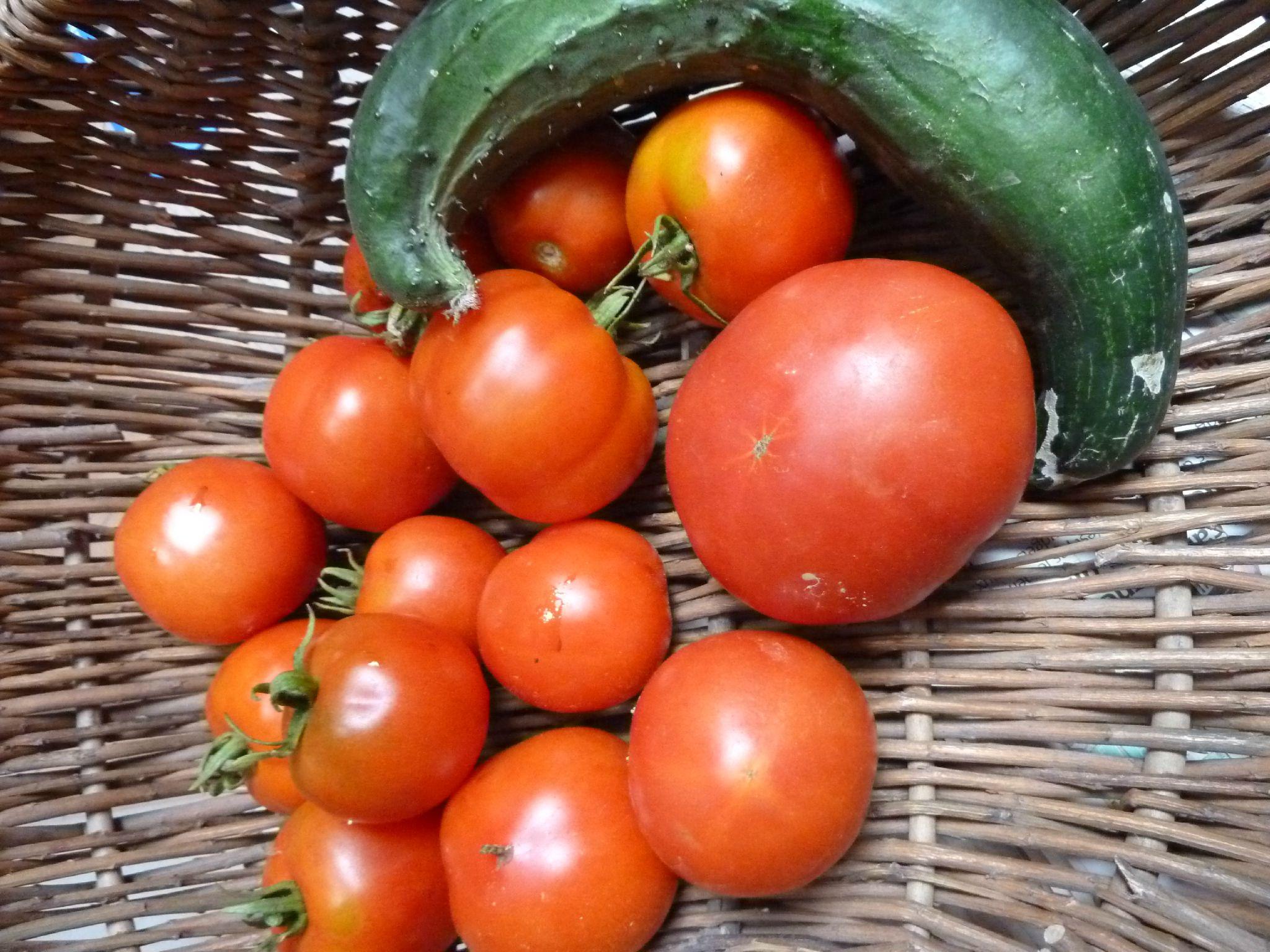 23-tomates et concombre - www.passionpotager.canalblog.com