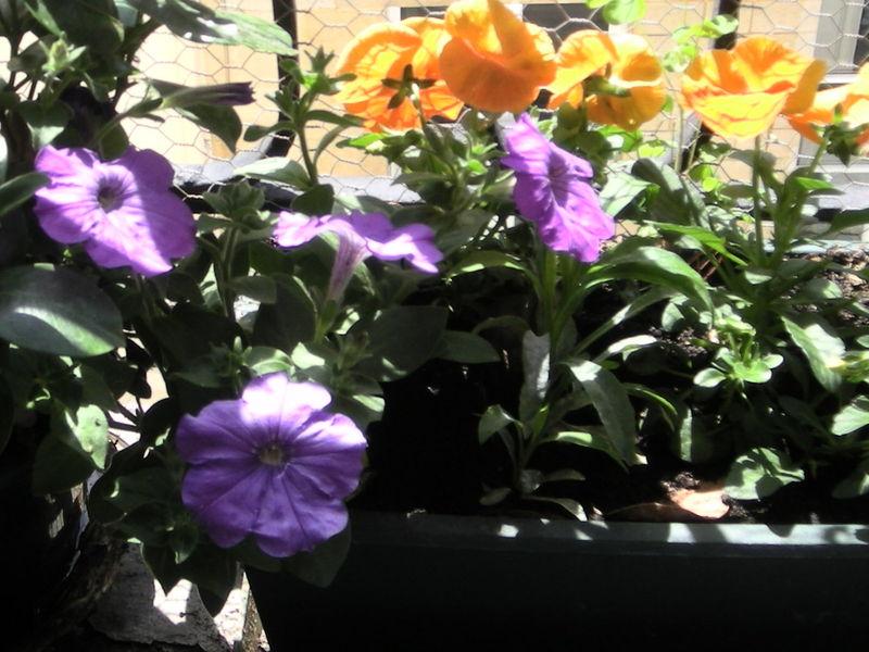 Pétunia violet et pensée orange