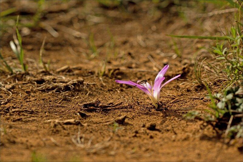 Guara rando Crapamote fleur colchique automne syrphe 270815