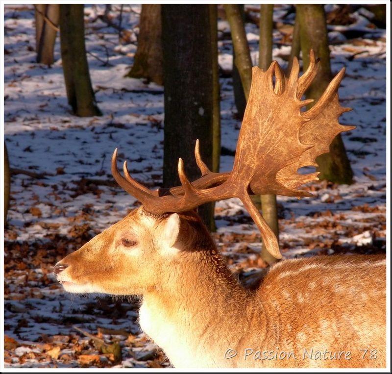 Les daims dans la neige (9)