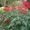 Bambou sacré • Nandina domestica • F/ Berberidaceae