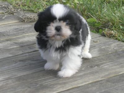 CHIOT, CHIEN, SHIH TZU, A ,VENDRE, A, ADOPTER, 34, 30, HERAULT, GARD,MONTPELLIER, NIMES, LUNEL