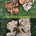 Meripilus giganteus