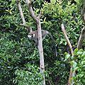 singes verts à Aregash lodge