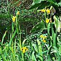 Iris aquatiques 170416