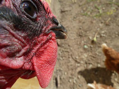 MAI - les poules ont trop mangéJPG (14)