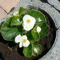 fleurs du jardin 07 06 2010 002