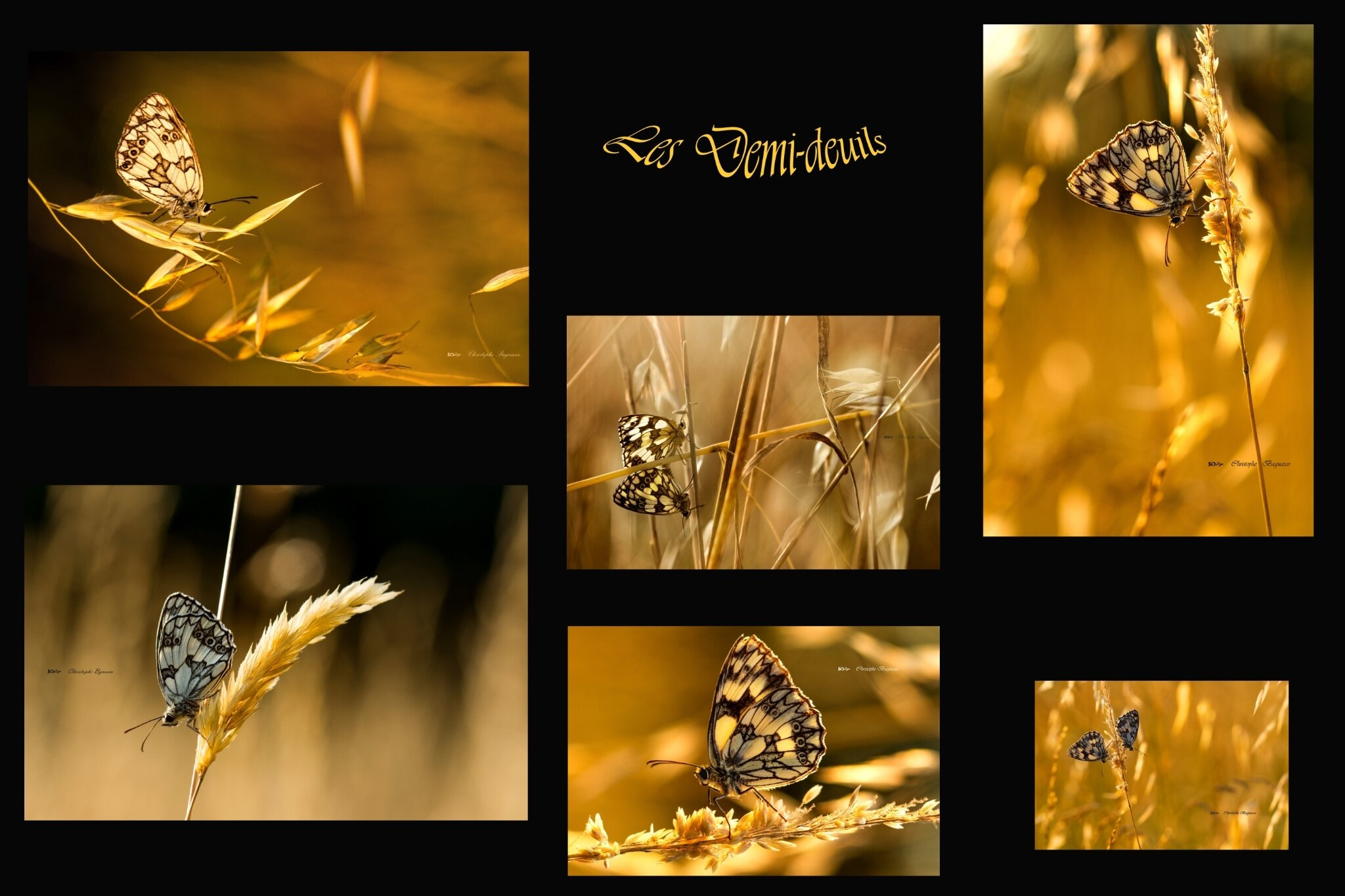 Papillons d'or