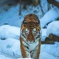 tigrecs1s9lv8qo1_1280